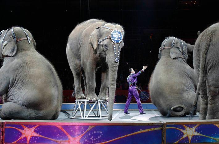 Os elefantes aposentados do Circo Ringling Bros. and Barnum & Bailey, mostrados na foto durante sua ...