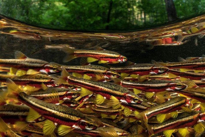 Os Tennessee dace exibem cores vibrantes ao acasalarem. Estão na lista de vulneráveis à extinção, sendo ...