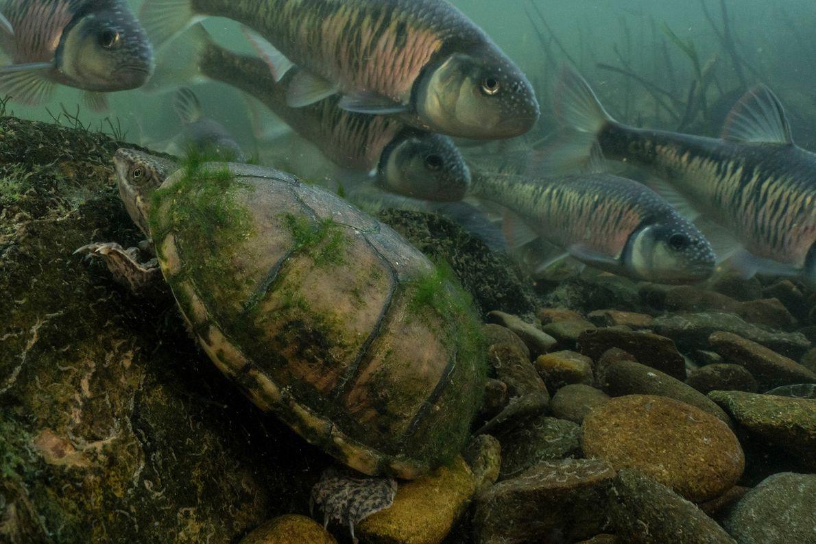 Esta tartaruga-almiscarada-comum se esconde atrás de uma pedra enquanto um cardume de carpas douradas listradas desova ...