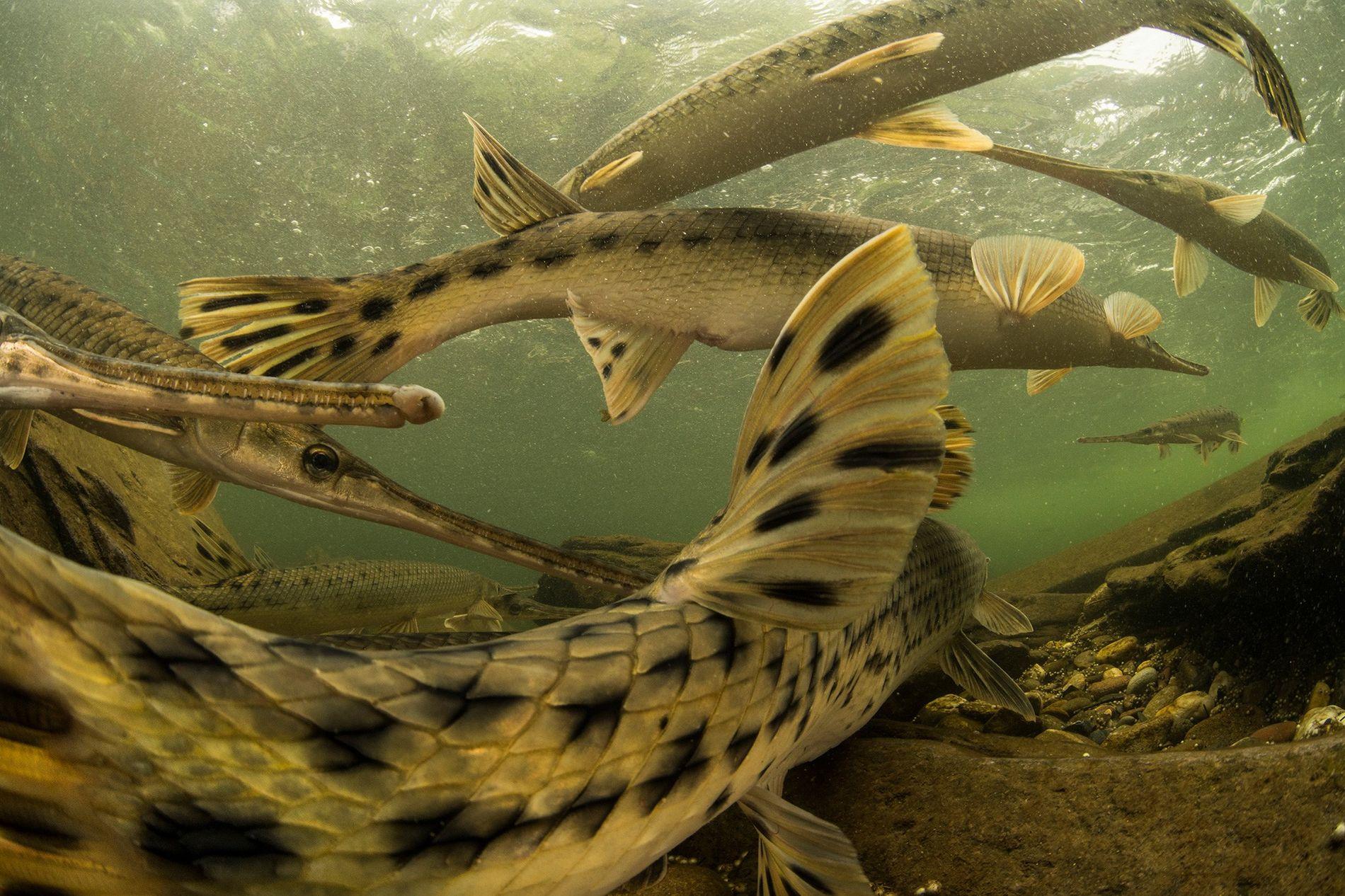 Os peixes-boca-de-jacaré são peixes primitivos que não mudaram muito desde os tempos pré-históricos. Uma fêmea pronta para desovar é seguida por um grupo de machos que pretendem fertilizar seus ovos do tamanho de ervilhas—todos os 30 mil ovos.