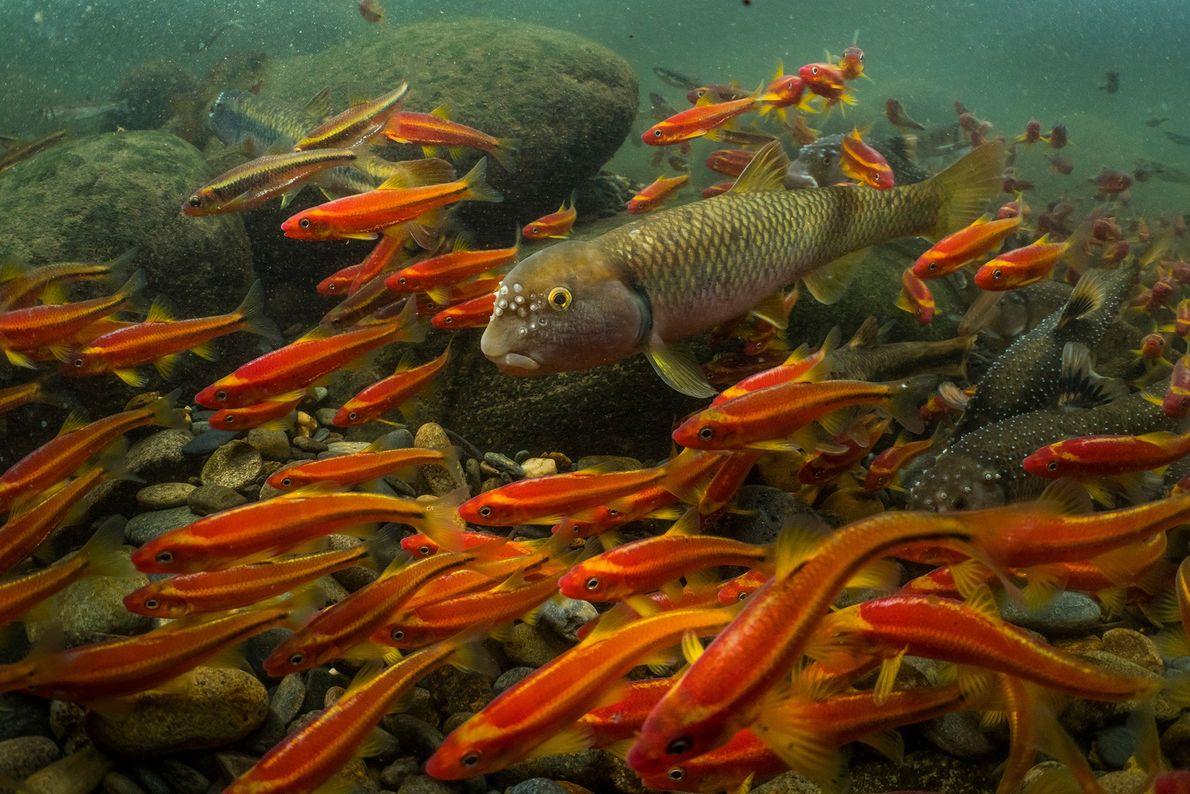 Durante dias, o caboz-de-água-doce macho (ao centro) carrega pedras na boca para criar um ninho. Este ...
