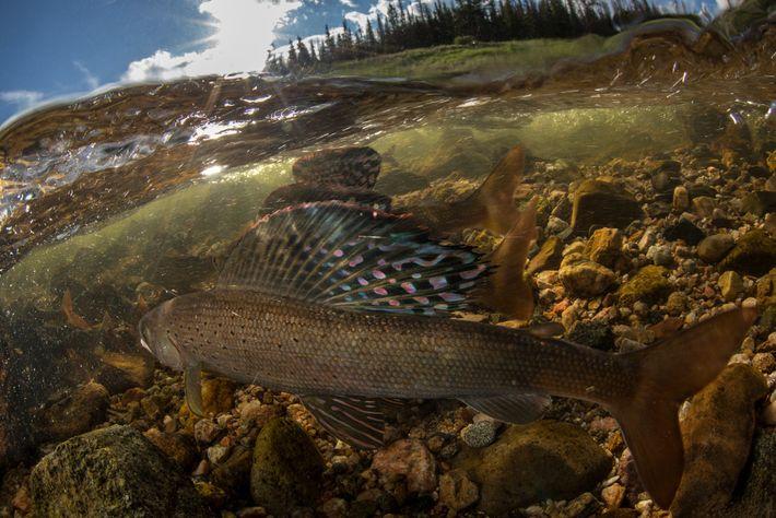 Os timalos-do-Ártico machos levantam as nadadeiras dorsais, que se assemelham a borboletas, para sinalizar que estão ...