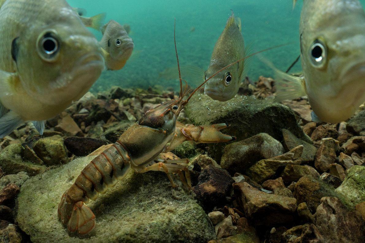 Um grupo de percas-sol-de-guelras-azuis, também conhecidas como blue gill, cercam um lagostim nas águas do nordeste ...