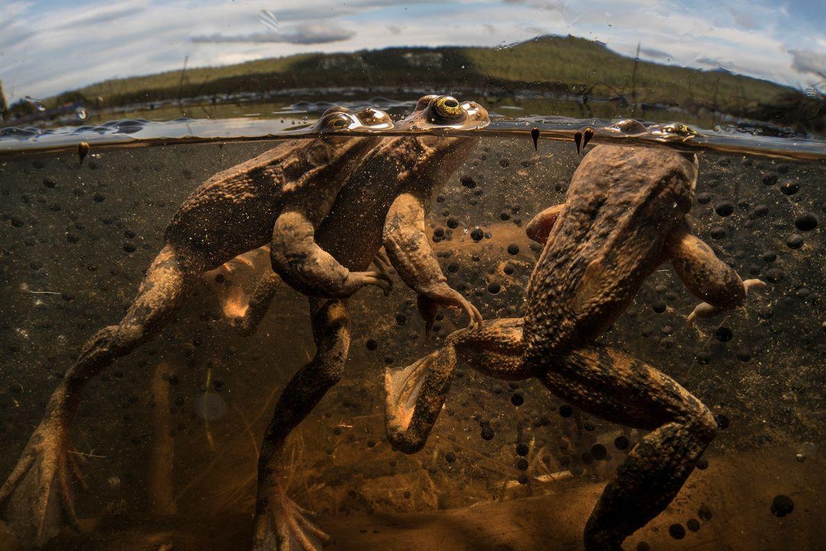 Três sapos-manchados-de-Oregon disputam a oportunidade de fertilizar os futuros ovos das 50 ou 60 fêmeas que ...