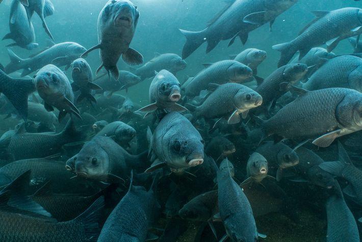Após os temporais da primavera, milhares de peixes-búfalo migram do tronco principal do Rio Tennessee para ...