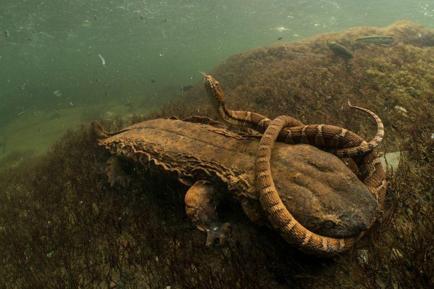 Esta salamandra-gigante, conhecida como hellbender, pretende jantar uma cobra-d'água-do-norte. Herasimtschuk diz que essa pode ser a primeira fotografia de uma salamandra dessa espécie tentando comer uma cobra.