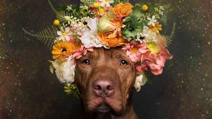 Fotos incríveis buscam suavizar a imagem dos pitbulls