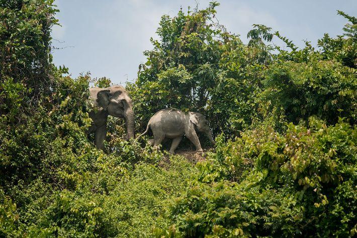 Dois elefantes caminham na floresta de Inani, rodeada pelos campos de refugiados. Com a expansão dos ...