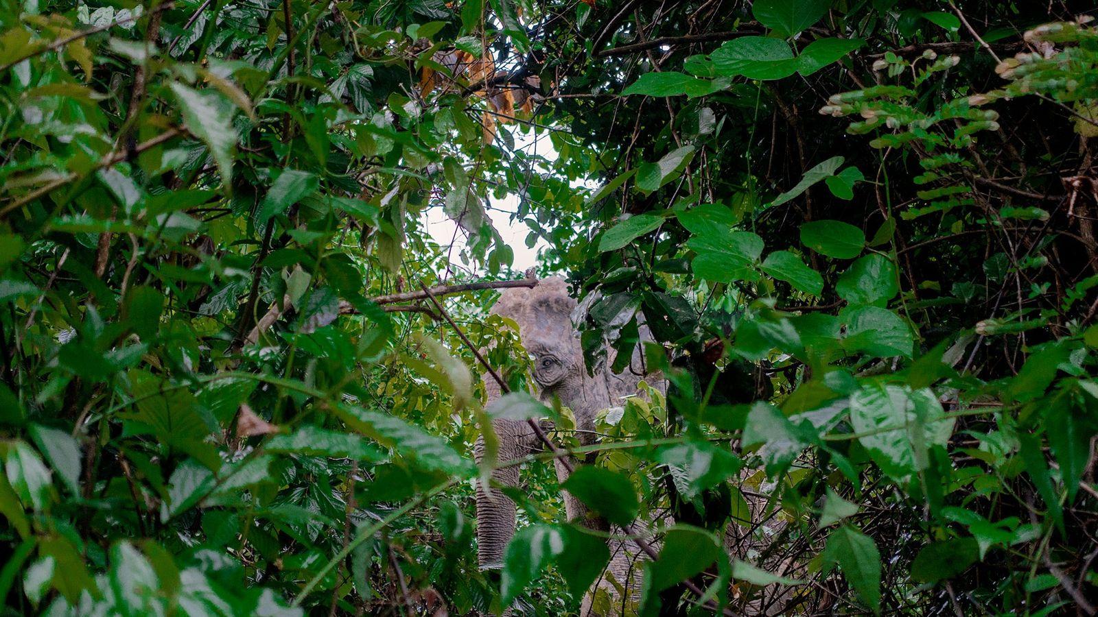 Elefante asiático espia através da folhagem na floresta de Inani em Bangladesh, nos arredores do maior ...