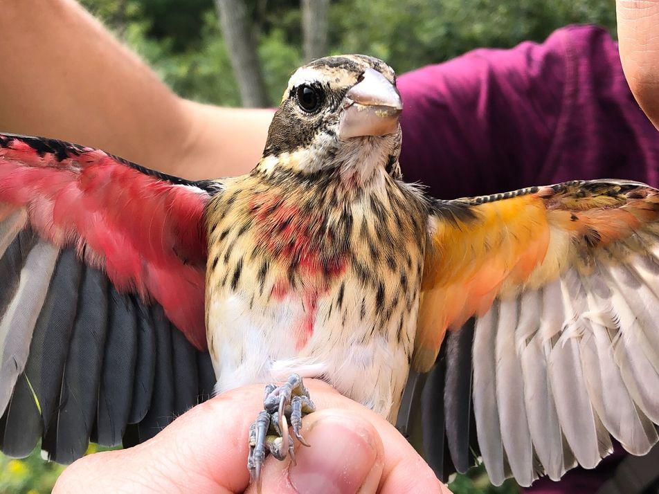Este pássaro magnífico é metade macho, metade fêmea