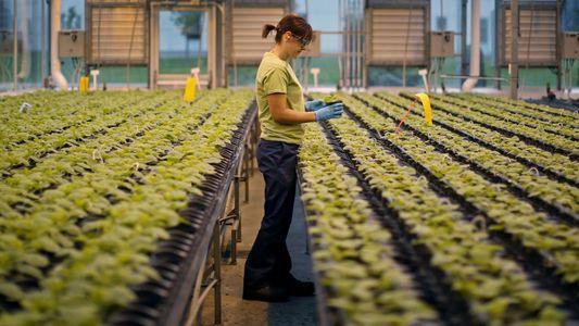 Sua próxima vacina pode ser cultivada em plantas de tabaco