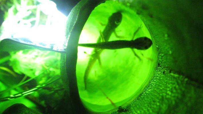Veja como estas plantas comem salamandras.