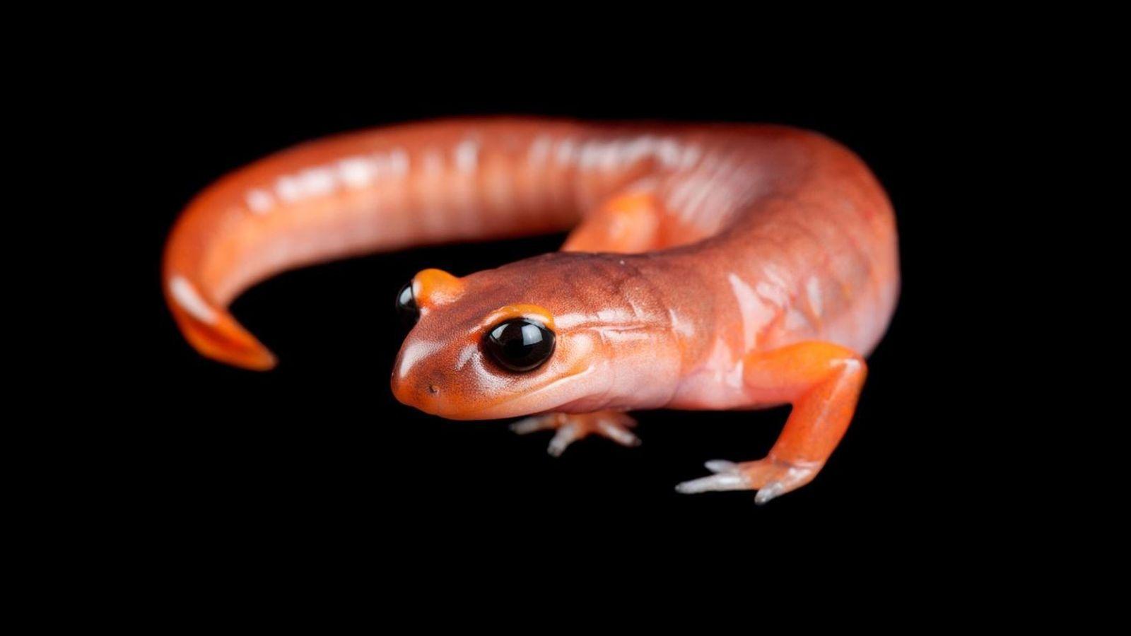Salamandra da espécie Ensatina eschscholtzii eschscholtzii.