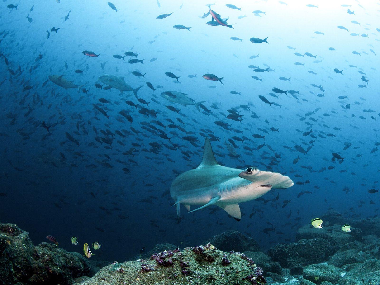 Tubarões-martelo da espécie Sphyrna lewini nadam próximos às Ilhas Galápagos. O peixe está criticamente ameaçado devido ...