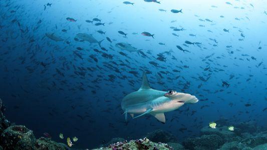 Por que vacina contra a covid-19 pode colocar os tubarões de águas profundas em perigo
