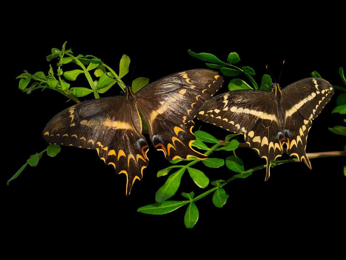 Borboleta Heraclides aristodemus ponceanus (não avaliada) – Nativa da Flórida, esta andorinha teve sua população reduzida ...