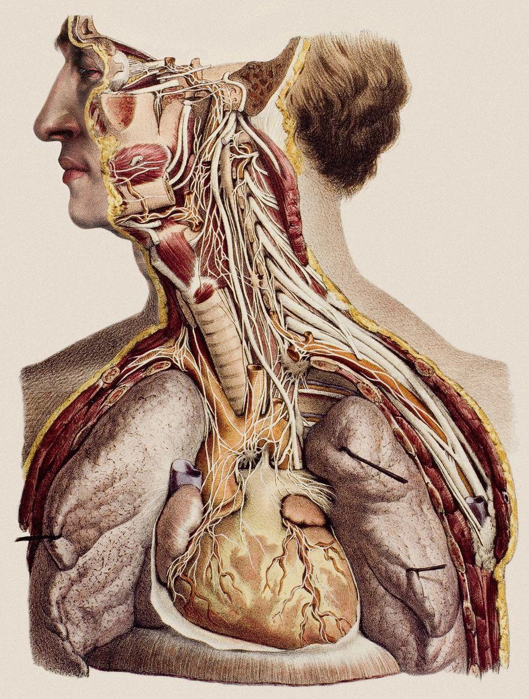 Litografia pintada à mão do pescoço e parte superior do torso dissecados para mostrar o caminho ...