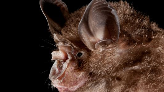Humanos aumentam pontos críticos onde morcegos podem transmitir doenças zoonóticas