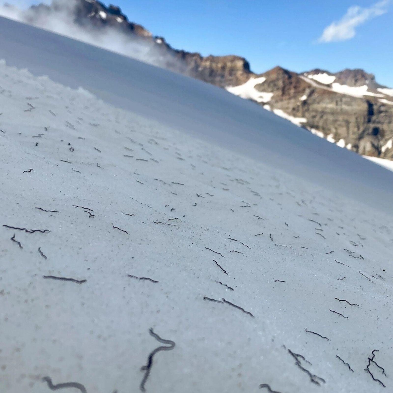 As minhocas do gênero Mesenchytraeus cobrem a superfície do Paradise Glacier, no sul do Monte Rainier, ...
