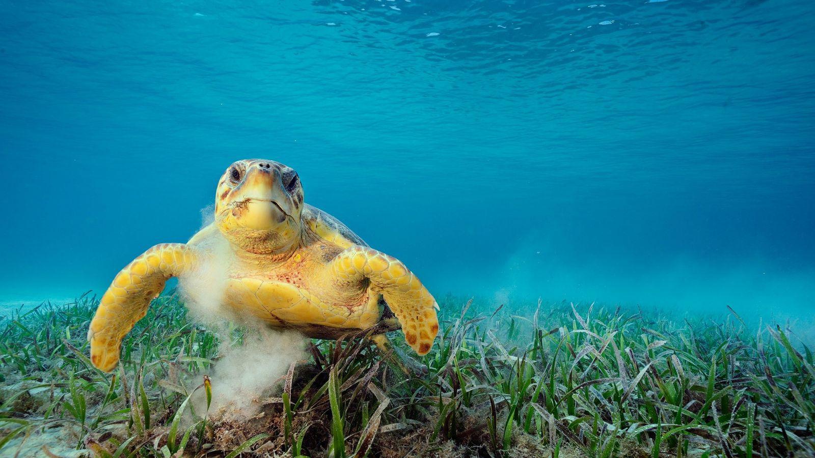 Uma tartaruga-marinha-comum sobre a vegetação marinha. Ao tocar o fundo do mar, esses répteis podem dar ...