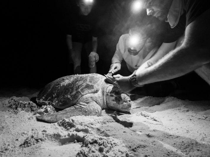 Pesquisadores trabalham para remover pequenos animais do casco de uma tartaruga-marinha-comum. Esta foto foi tirada durante ...