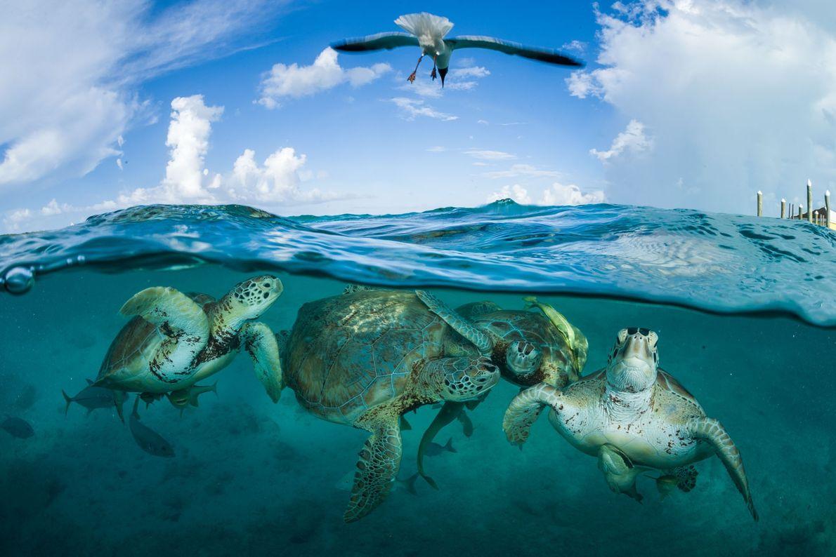 Tartarugas-verdes se reúnem próximo a uma doca nas Bahamas. Durante a época de Cristóvão Colombo, elas ...