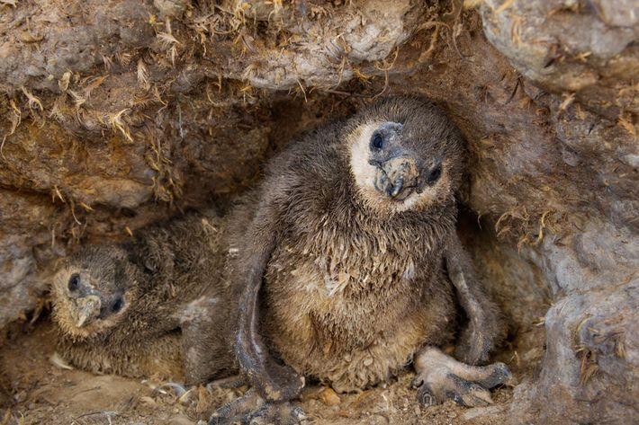 African penguin chicks nest in guano on Mercury Island off the coast of Namibia. On most ...