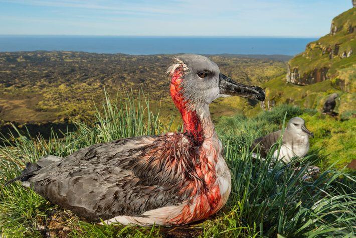 Um filhote ferido de albatroz-de-cabeça-cinza, na Ilha Marion, expressa de forma violenta a ameaça causada por ...