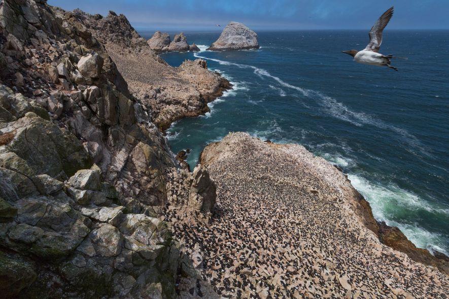Um airo sobrevoa milhares de outros cuidando de ovos e filhotes nas Ilhas Farallon, na Califórnia. ...