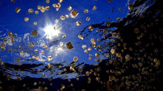 Enxame de água-viva em forma de dedal (Linuche unguiculata): ela produz larvas que picam e provocam ...