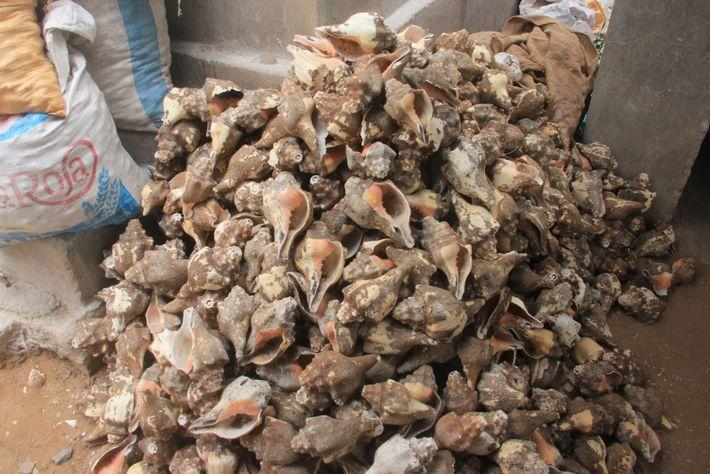 Essas conchas foram trazidas para um local de processamento na Índia para serem limpas, secas e ...