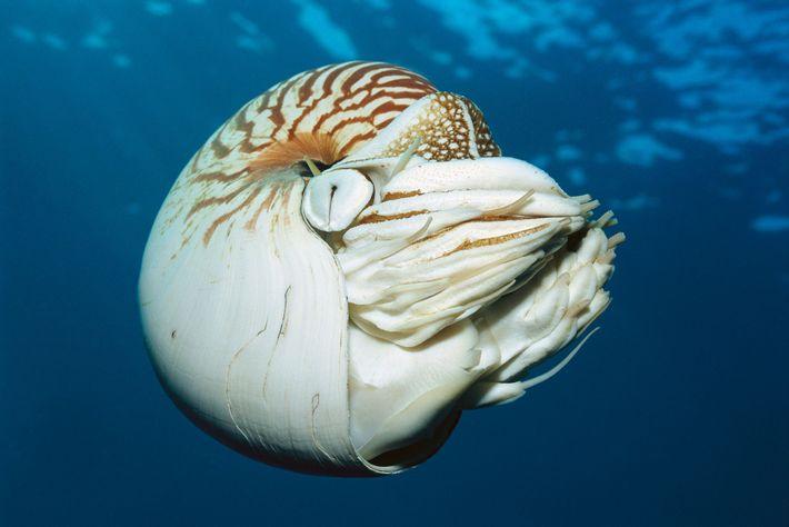 O Nautilus pompilius é um molusco popular para joias e decoração, mas a pesca insustentável o ...