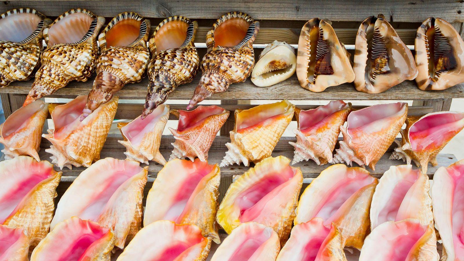 A coleta de moluscos para artes e souvenires é uma indústria de grande escala que envolve ...