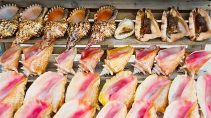 Souvenires de conchas estão destruindo animais marinhos protegidos