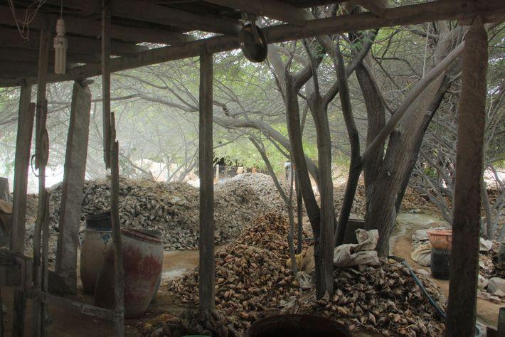 Conchas em uma fábrica em Kanyakumari, na extremidade sul da Índia, esperando processamento. Elas serão vendidas ...