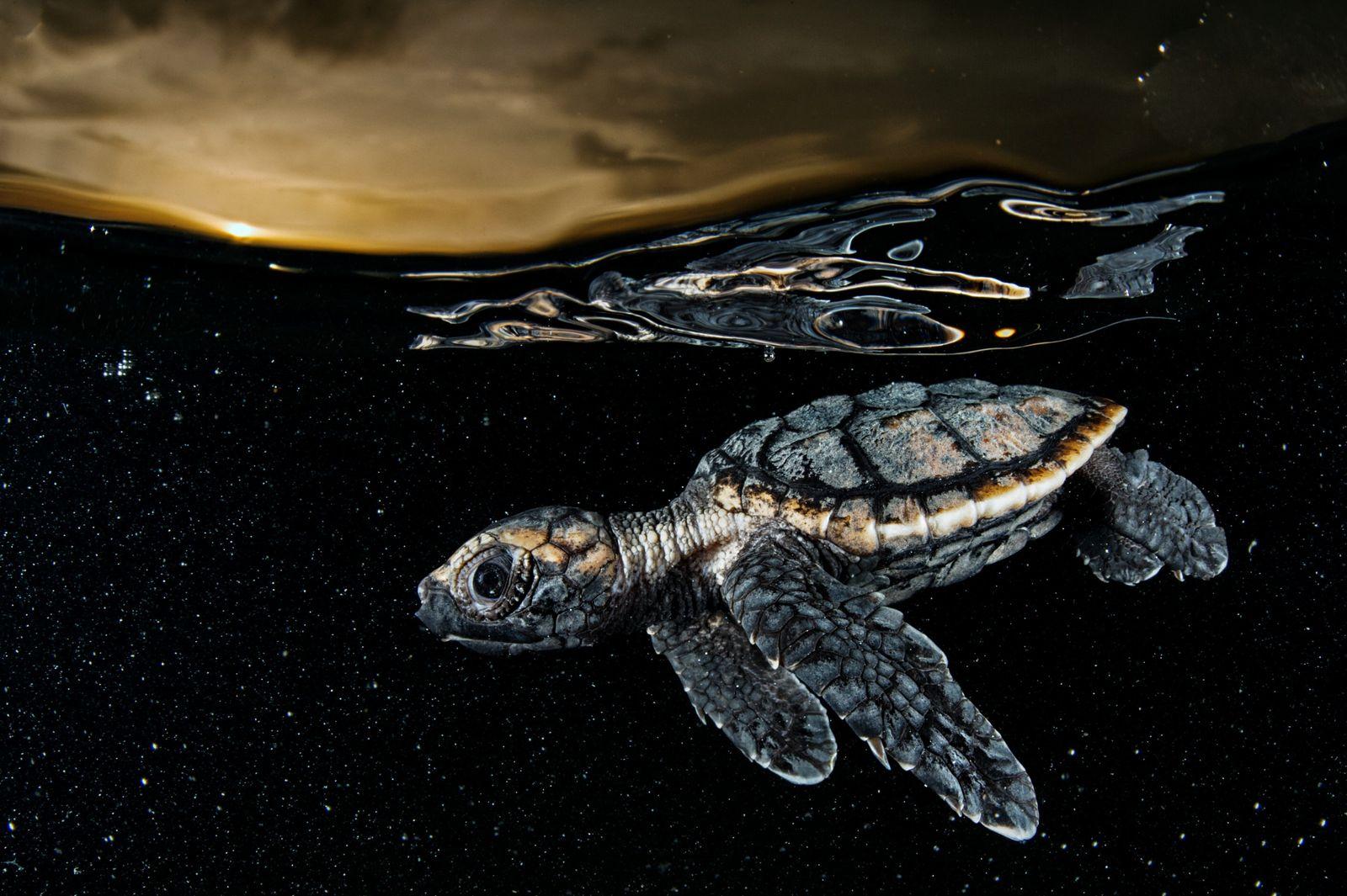 Em perigo crítico, um filhote de tartaruga-de-pente (acima) afasta-se da praia protegido pela escuridão da noite ...