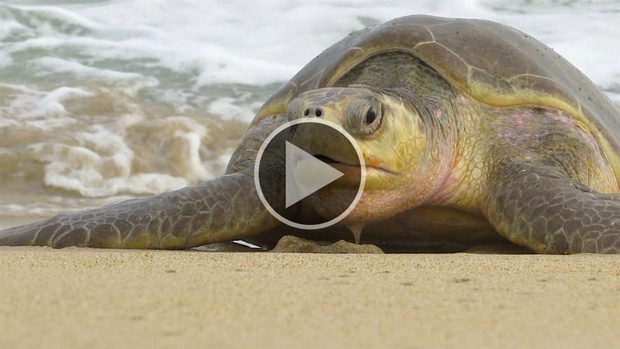 300 tartarugas-oliva encontradas mortas no México