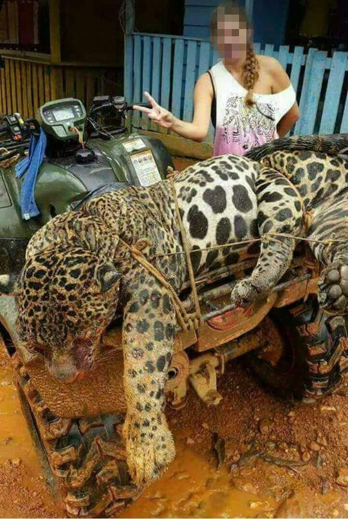 onca-pintada morta suriname
