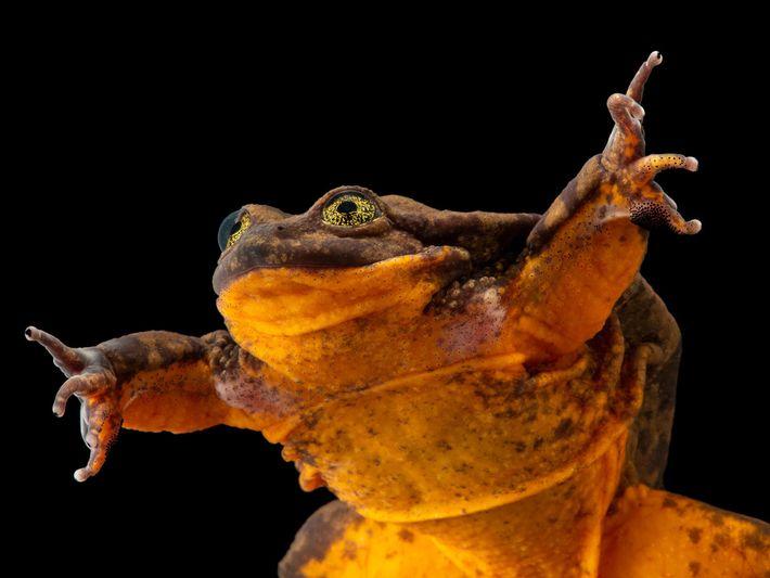 Sapo-aquático-de-sehuencas, Telmatobius yuracare (vulnerável) – Por 10 anos, este sapo, chamado Romeu, foi considerado o último ...