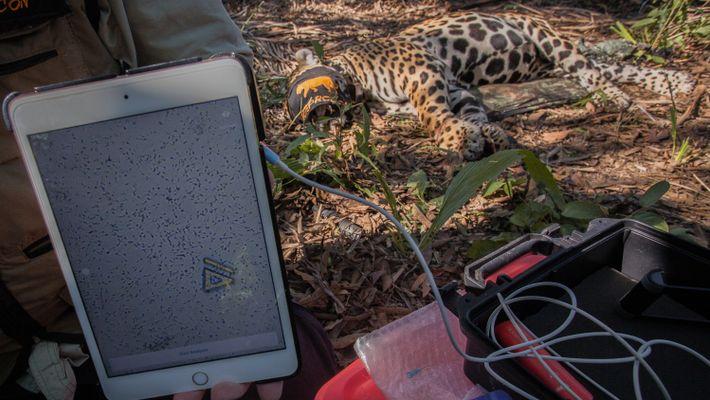 Passo a passo – como pesquisadores coletam sêmen de onça no Pantanal
