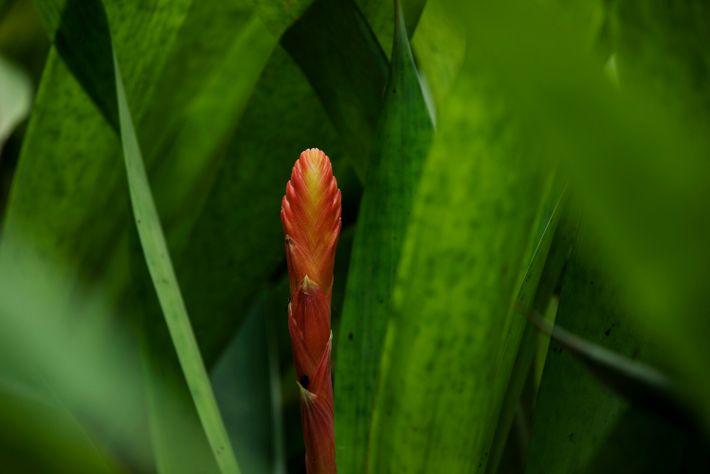 Flor de uma bromélia encontrada na floresta do Parque Nacional da Serra do Divisor, no Acre.