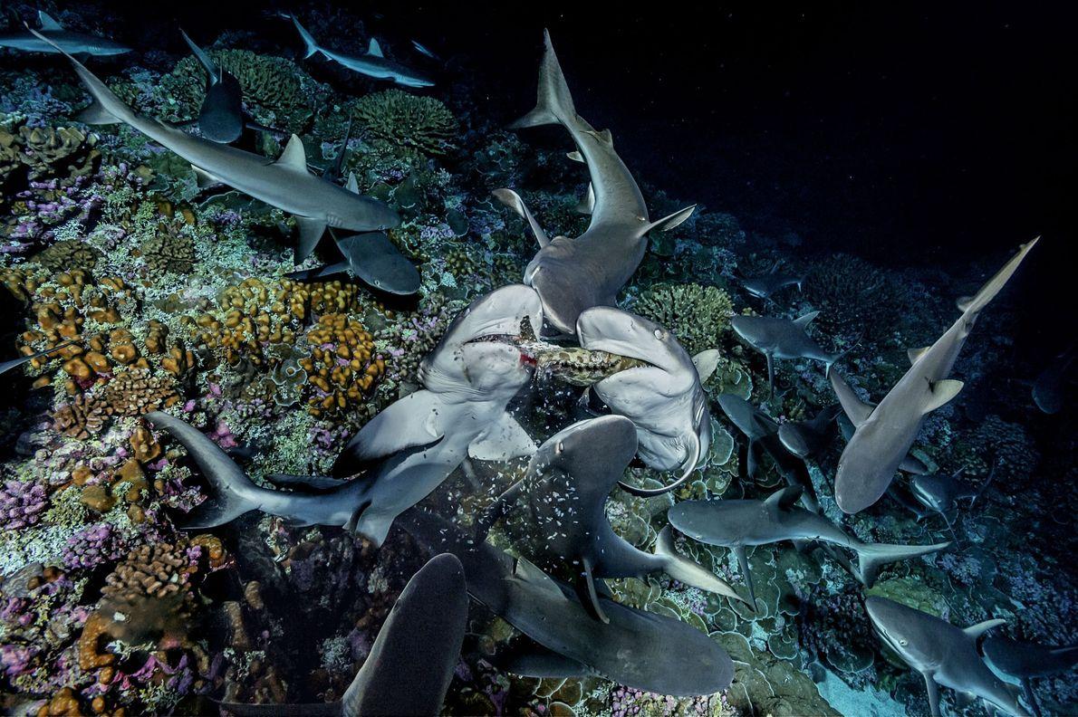 Lascas de uma garoupa caem das mandíbulas de dois tubarões enquanto dilaceram o peixe. Após caçaram ...