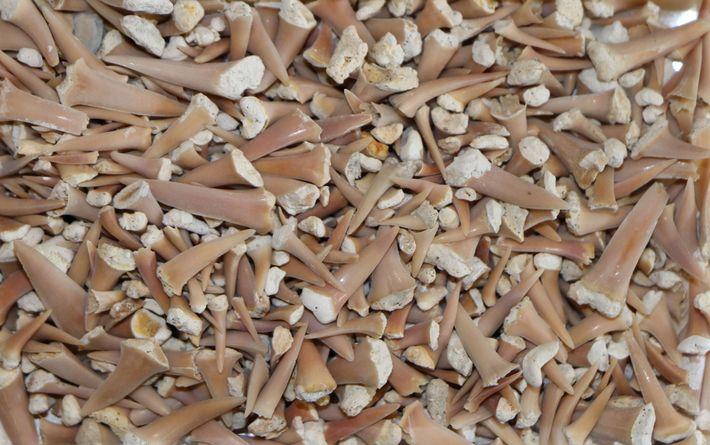 Pesquisadores analisam os dentes de tubarões pré-históricos, uma fonte mais confiável de informação do que o ...