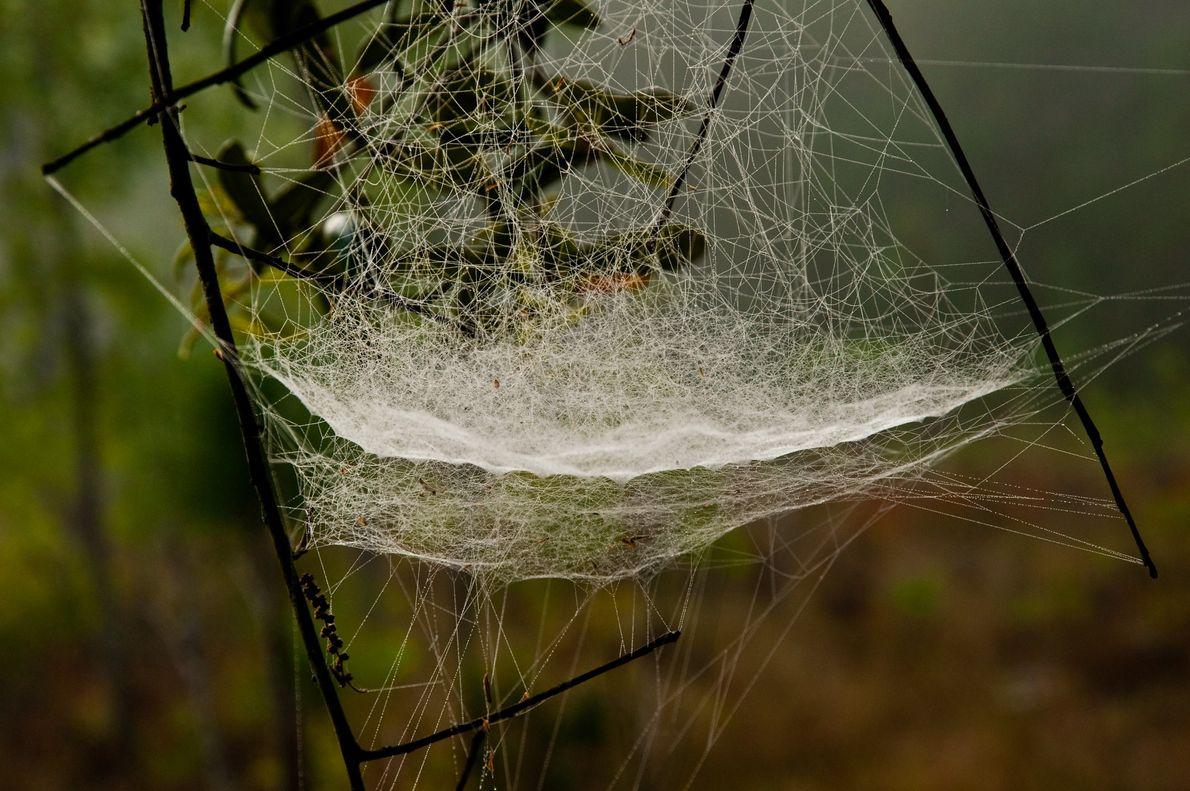 A teia de uma aranha da família Linyphiidae no orvalho da manhã.