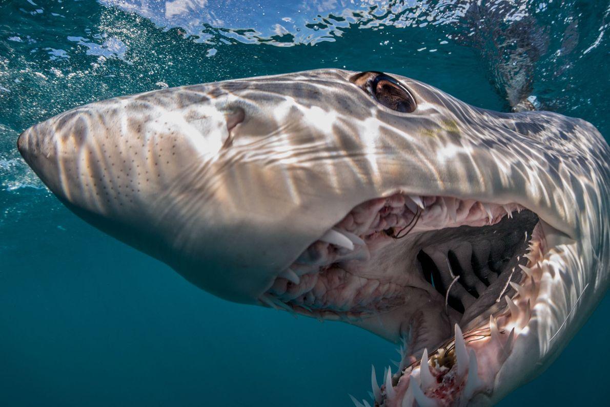 Um tubarão-mako de barbatana curta diante de um intruso, introduzindo-se como uma força a ser reconhecida ...