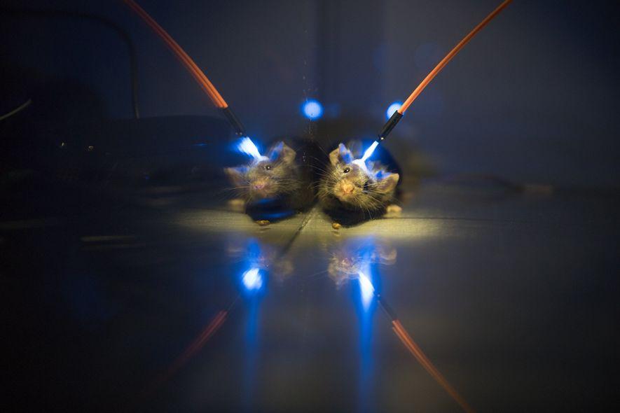As novas memórias são consolidadas no sono. O que ocorre no cérebro? Na Universidade de Tsukuba, no Japão, Takeshi Sakurai estuda a questão com a ajuda daoptogenética – um laser ativa células cerebrais em camundongos geneticamente modificados para adquirirem tal sensibilidade.
