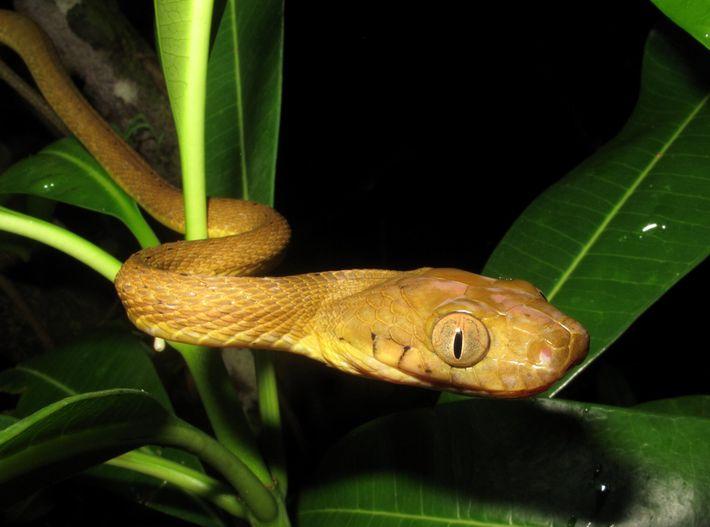 Navios de carga provavelmente introduziram a cobra-arborícola-marrom, nativa de outras ilhas do Pacífico, em Guam no ...