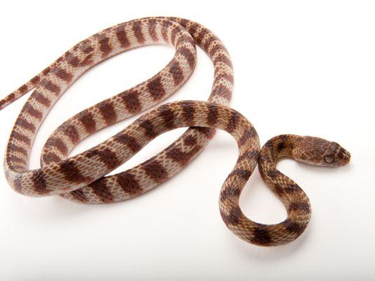 Cobras invasoras deslocam o corpo em 'movimento de laço' inédito – veja vídeo
