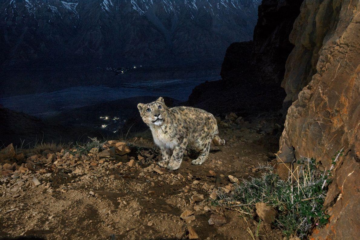 Uma armadilha fotográfica captura um velho leopardo das neves em uma montanha com vista para o ...