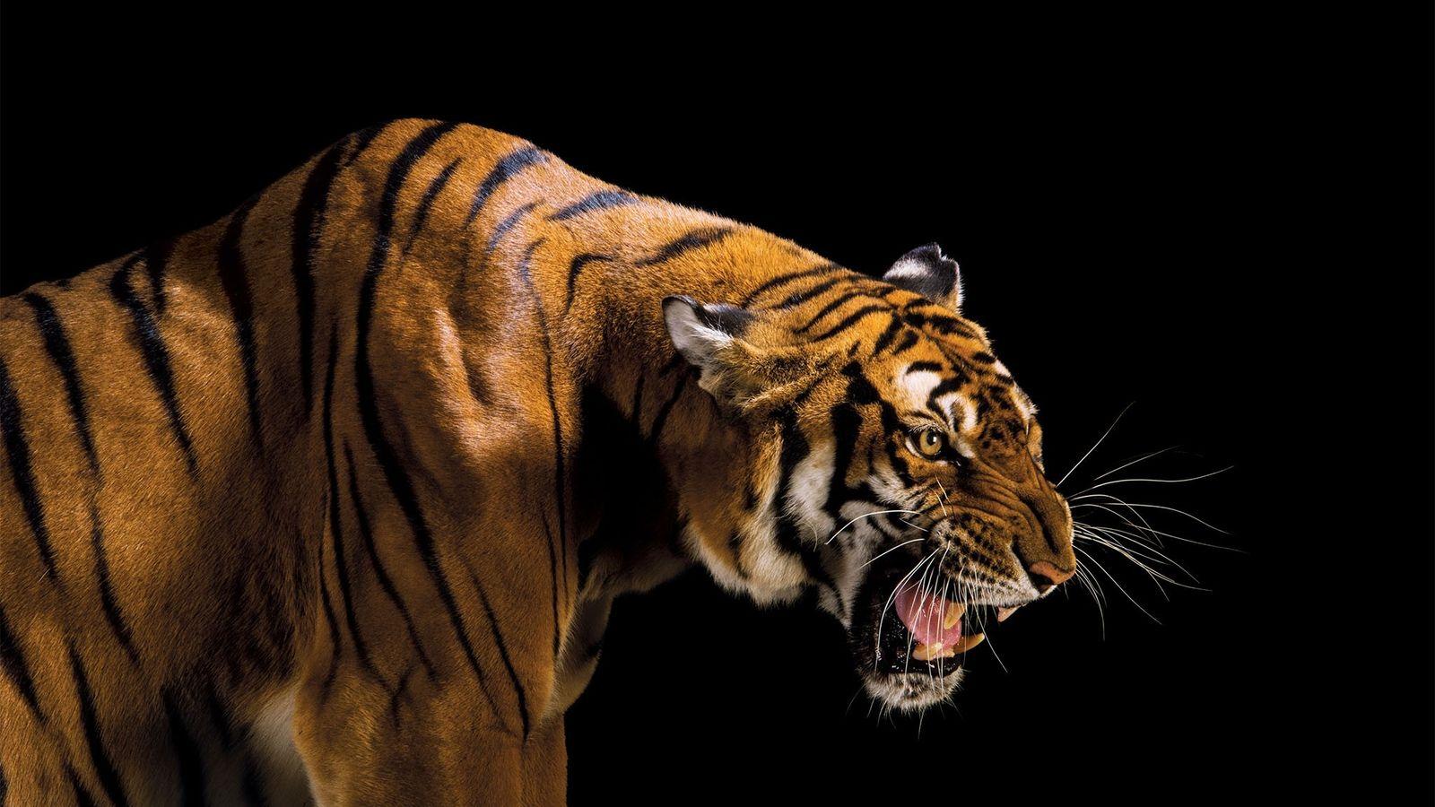 O tigre-da-china não é visto na natureza (Panthera tigris amoyensis) há mais de uma década. Em ...